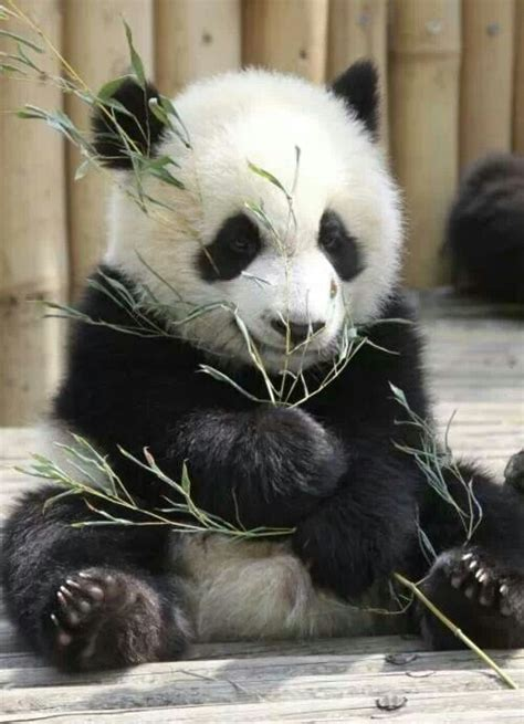 13 Adorable Gifs Of Pandas, Just Being Pandas - I Can Has